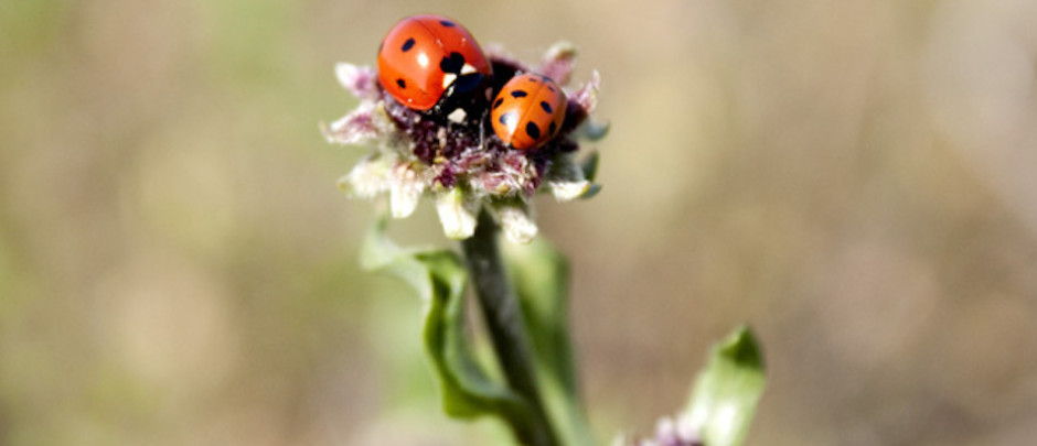 OCSCB ladybugs and Encelia in Orange County